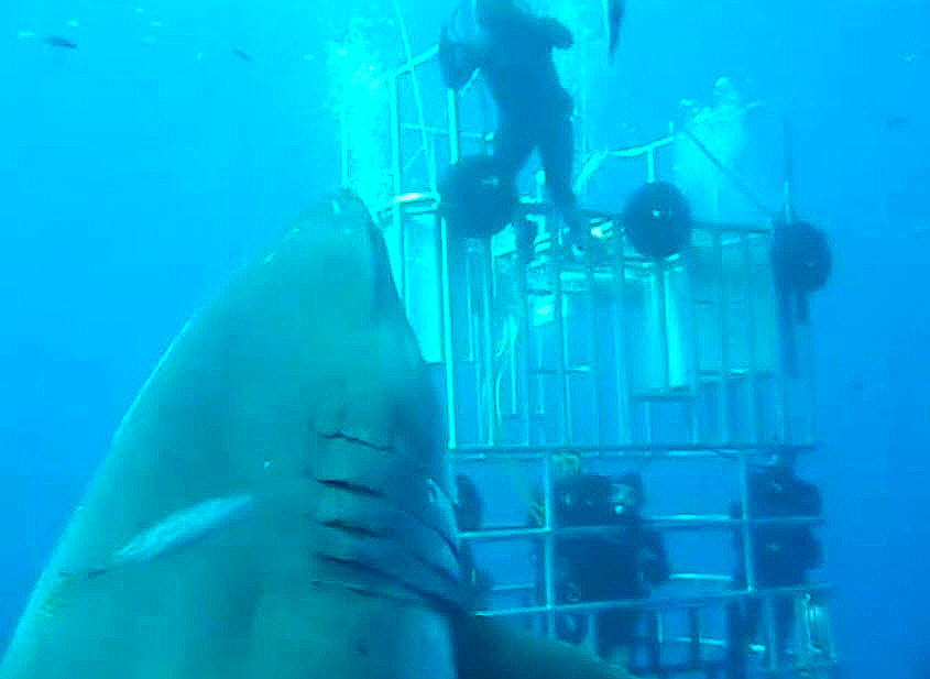 Deep Blue, Isla Guadalupe, 20-foot Great White Shark-A